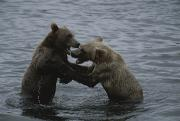 Bears Island Photos - A Pair Of Grizzly Bears, Ursus Arctos by Karen Kasmauski