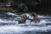 River Scenes Posters - A Pair Of Grizzly Bears Ursus Arctos Poster by Paul Nicklen