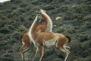 Torres Posters - A Pair Of Guanacos In Torres Del Paine Poster by Skip Brown