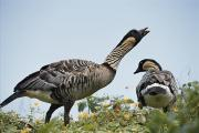 A Pair Of Hawaiian Geese, Or Nene Print by Chris Johns