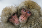 Bonding Framed Prints - A Pair Of Japanese Macaques, Or Snow Framed Print by Tim Laman