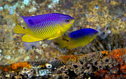 Damselfish Framed Prints - A Pair Of Juvenile Cocoa Damselfish Framed Print by Michael Wood
