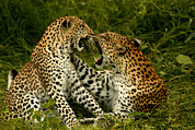 Wildcats Posters - A Pair Of Leopards Resting And Play Poster by Beverly Joubert