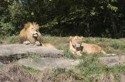 A Pair Of Lions In The Pittsburgh Zoo Print by Stacy Gold