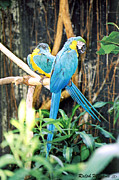 Macaw Prints - A pair of Macaws Print by Ralph Martens