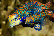 Spawning Prints - A Pair Of Mandarinfish Swim Close Print by Tim Laman