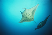Caroline Islands Prints - A Pair Of Manta Rays In The Waters Print by Heather Perry