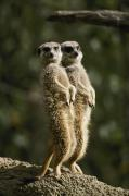 Meerkat Posters - A Pair Of Meerkats Stand Watch Poster by Jason Edwards