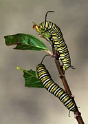 Crawling Posters - A Pair of Monarch Caterpillars Poster by Sabrina L Ryan