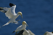 Roosting And Resting Posters - A Pair Of Northern Gannets  On Cliffs Poster by Norbert Rosing