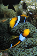 Damselfish Framed Prints - A Pair Of Orange Fin Anemonefish Sleep Framed Print by Tim Laman