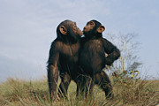Apes Framed Prints - A Pair Of Orphan Chimpanzees Framed Print by Michael Nichols