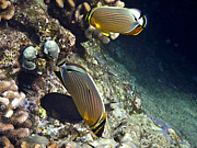 Tropical Fish Posters - A Pair of Oval Butterflyfish Poster by Bette Phelan