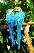 Parrots Photos - A Pair of Parrots by Marilyn Hunt