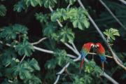 Bonding Metal Prints - A Pair Of Red-and-green Macaws Perched Metal Print by Joel Sartore