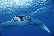 Bahama Islands Prints - A Pair Of Remoras Hitch A Ride Print by Brian J. Skerry
