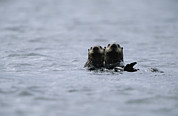 Sea Otters Posters - A Pair Of Sea Otters Floating Poster by Joel Sartore