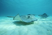 Stingrays Posters - A Pair Of Southern Stingrays Swim Poster by Raul Touzon