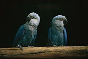 And Threatened Animals Framed Prints - A Pair Of Spixs Macaws Perches Framed Print by Joel Sartore