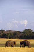 Floodplain Framed Prints - A Pair Of Sri Lankan Elephants Greet Framed Print by Jason Edwards