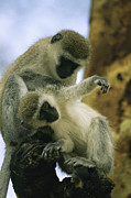 Bathing And Grooming Framed Prints - A Pair Of Vervet Monkeys Grooming Framed Print by Michael Melford