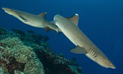 Reef Sharks Posters - A Pair Of Whitetip Reef Sharks, Kimbe Poster by Steve Jones