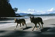 North Vancouver Framed Prints - A Pair Of Wolves Walk Along The Beach Framed Print by Joel Sartore