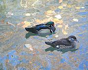 Minnesota Mixed Media - A pair of Wood Ducks by Robert Pearson