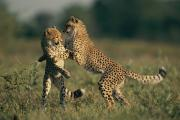 Endangered Cheetahs Art - A Pair Of Young African Cheetahs by Chris Johns