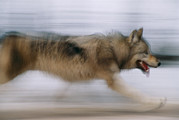 Wolf Creek Posters - A Panned Shot Of A Gray Wolf, Canis Poster by Joel Sartore