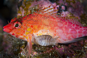 Colorful Tropical Fish  Photos - A Parasitic Isopod Has Attached Itself by Todd Winner