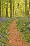 Lumber Industry Framed Prints - A Path Leads Through The Beech Woods Of West Woods In Wiltshire, Uk The Woods Are Near To Warminster And Are Famous For The Carpet Of Bluebells That Can Be Seen Each Year Framed Print by Julian Elliott Ethereal Light