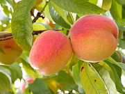 Peaches Photo Prints - A Peachy Pair Print by Margie Avellino