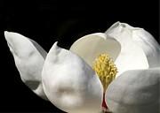 Sabrina L Ryan - A Peek Inside a Magnolia