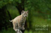 Lynx Photos - A Perch with a View by Sandra Bronstein