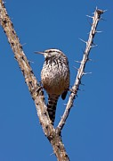 Birds. Thorns Prints - A Perched Cactus Wren Print by Bob Gibbons