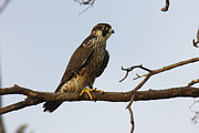 Bombay Posters - A Peregrine Falcon Perches In A Tree Poster by George Grall