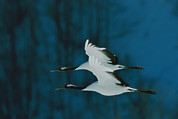 Cranes Photo Prints - A Perfect Formation Of Two Japanese Or Print by Tim Laman