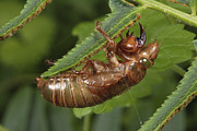 Cicada Posters - A Periodical Cicada Nymph Exoskeleton Poster by George Grall