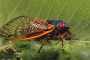Cicada Photos - A Periodical Cicada Or 17 Year Cicada by George Grall