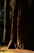 Large Scale Posters - A Person Stands Before A Giant Sequoia Poster by Phil Schermeister