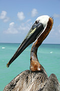 A Personable Pelican Portrait Print by Stephen St. John