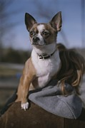 Chihuahuas Posters - A Pet Chihuahua Rides On Its Owners Poster by Roy Gumpel