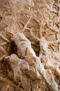 A Petrified Dinosaur Footprint Shown Print by Taylor S. Kennedy