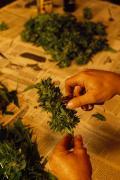 A Photograph Of Marijuana Buds Print by Phil Schermeister