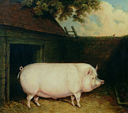Hay Prints - A Pig in its Sty Print by E M Fox