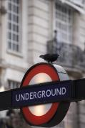 Rail Vehicles Photo Framed Prints - A Pigeon Perched On A London Framed Print by Justin Guariglia