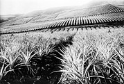 Pineapple Prints - A Pineapple Plantation, Hawaii. Ca Print by Everett