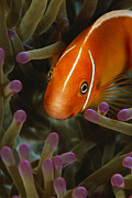 Damselfish Framed Prints - A Pink Anemonefish In The Tentacles Framed Print by Tim Laman