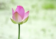 Water Lilies Photo Posters - A Pink Lotus Poster by Sabrina L Ryan